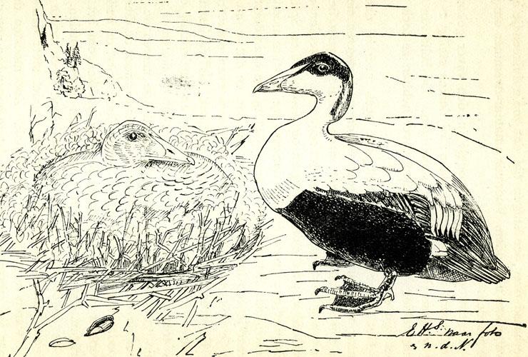 Eli Heimans, Eidereenden; rechts het mannetje naat een levend exemplaar in Artis (uit: Eli Heimans, Met kijker en bus, 1906)