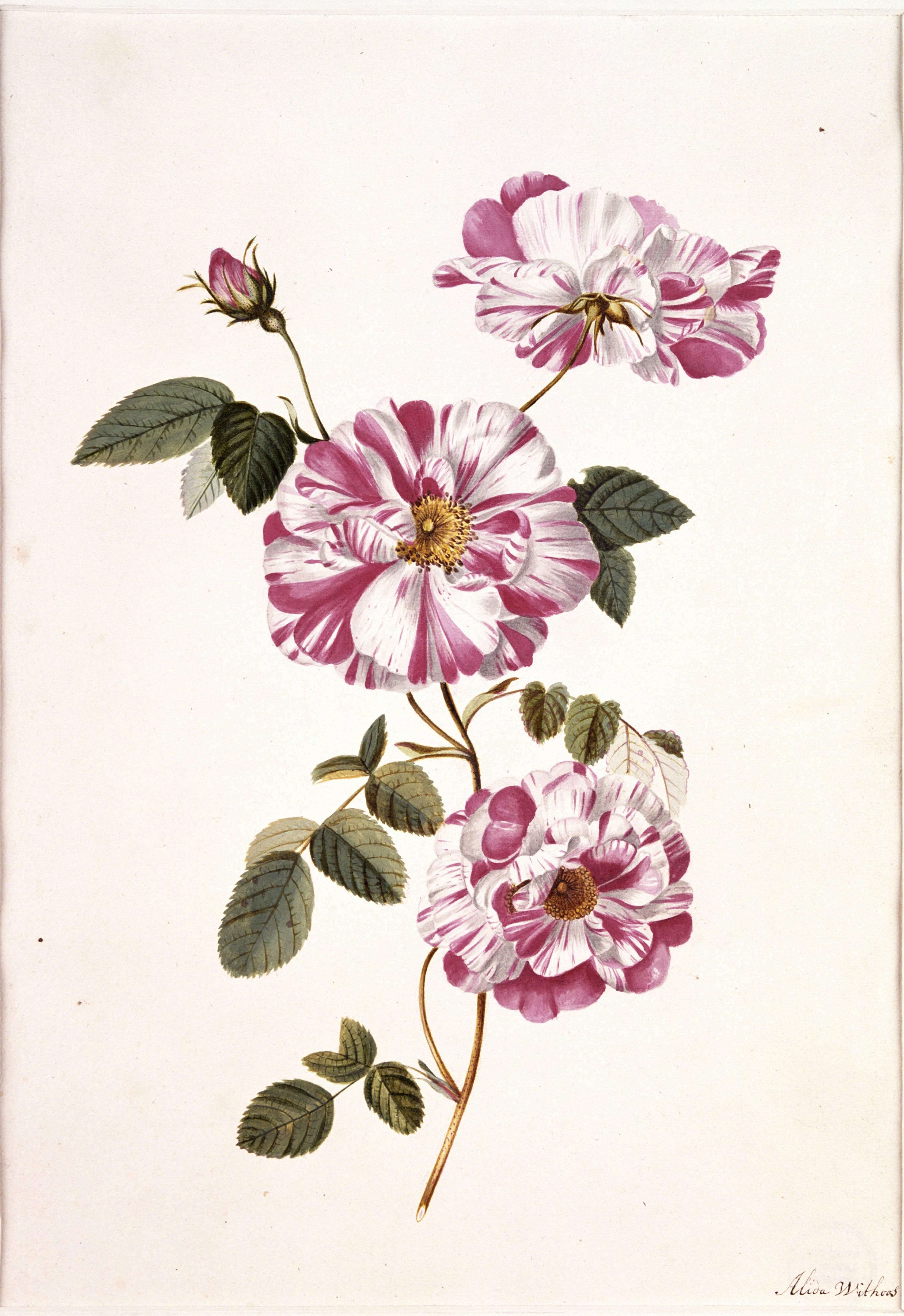 rosa_gallica_l_versicolor
